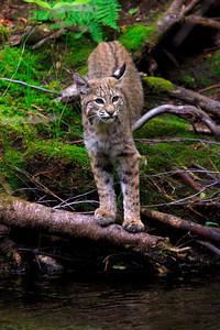 A Bobcat deep in the Sierra Nevada mountain range (© James D. DeCamp | http://www.JamesDeCamp.com | 614-367-6366)