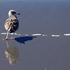 The seagull is unaware of his shadow and reflection.