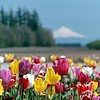 Mt. Hood and Tulips.
