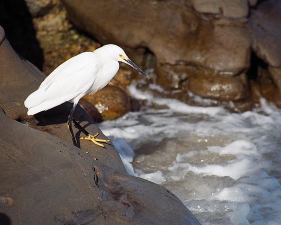 White Egret, La Jolla California