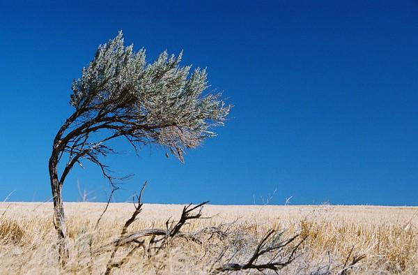 Windblown bush