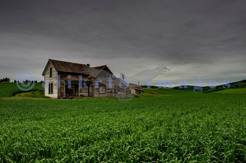 A heavily overcast day in Washington state's Palouse area, a productive farming area, heightens the isolation of an abandoned Victorian farmhouse sited in a fresh green corn crop.
