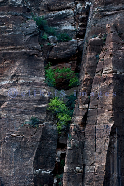 Trees and shrubs grab a foothold in the sheer sandstone walls along the scenic drive in Utah's Zion National Park.