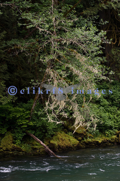Moss drapes a tree overhanging the Skagit River along highway 20. Late afternoon light.