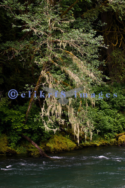 Moss drapes a tree overhanging the Skagit River along highway 20. Mid-morning light.