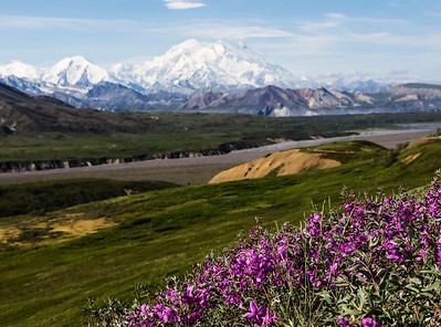 Denali In The Lupine