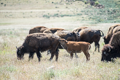 The baby bison are plentiful at Antelope island
