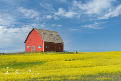 Red Barn In A Mustard Field