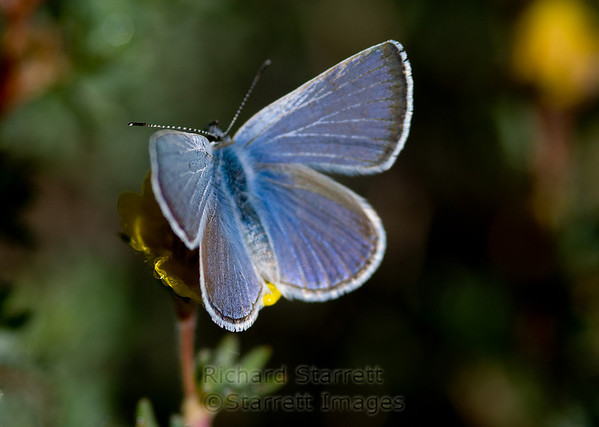 Lovely blue butterfly seen only on these shrubs with yellow flowers.