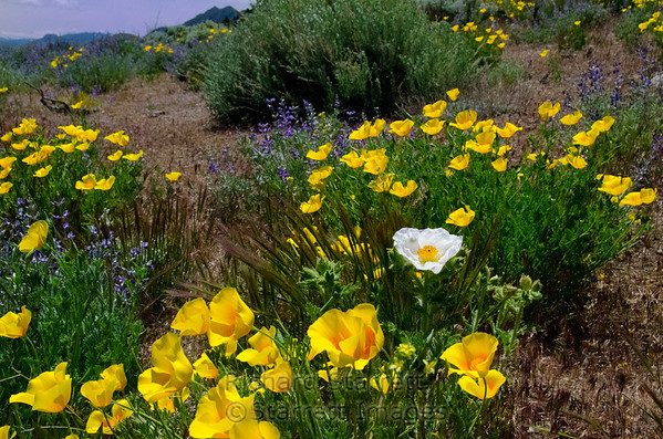 Golden poppy field with one Matilija poppy and lupen