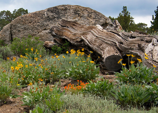 Sierra wildflowers growing around a twisted old trunk.