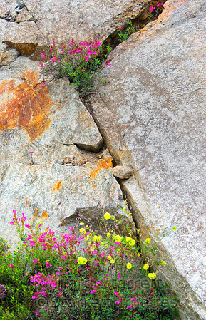 The tiniest crack in a boulder provides shelter for wildflowers, mostly primula at. 8000ft near Blue Lakes, Hope Valley, CA