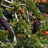 Bristle Cone pine cones