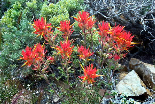 Castilleja, Indian Paintbrush,  on the trail, 10,000ft