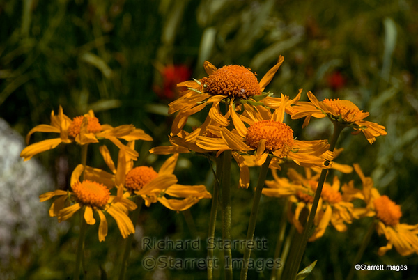 Bigelow's sneezeweed, near South Lake