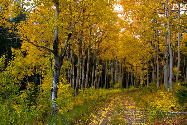 Aspen lined trail in the Wasatch Mountains, UT