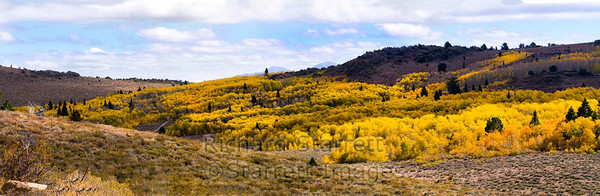 Near the Monitor Pass, Aspens at the height of their fall color.  A panorama stitches from several images.