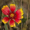 <b>Title - Indian Blanket</b> 2nd Place <i>- Kit Snider</i>