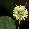<b>Title - Alien Buttonbush Flower</b> <i>- Meg Puente</i>