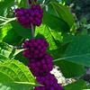 Luscious Purple