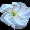 Description - Moonflower <b>Title - White Morning Glory Unfolding</b> <i>- Peggy VanArman</i>