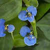 Description - Blue Day Flower <b>Title - Tiny Blue Beauties</b> <i>- Kit Snider</i>