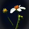 Description - Spanish Needle <b>Title - Wildflower - Bidens Pilosa</b> Honorable Mention <i>- Michael Stebel</i>