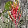 Bromeliad In Bloom