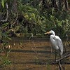 Great Egret in the Cypress Swamp