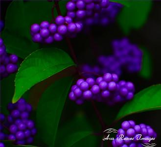Japanese Beautyberries
