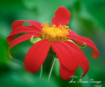 Red Mexican Sunflower
