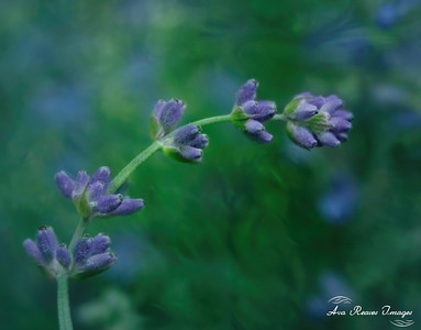 Enlish Lavender