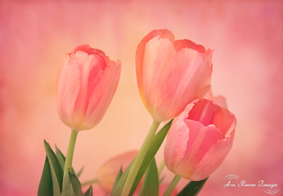 Winter Pink Tulips