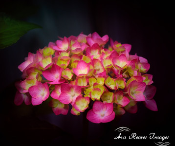 Mophead Hydrangeas are the most popular hydrangea in the United States. The Mophead Hydrangea has large green leaves with large flower heads that come in purple, blue and pink.  This type of hydrangea are shrubs .    I photographed this pink hydrangea while the light highlighted the flowers, yet created a black background.