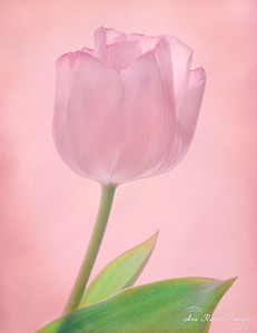 Pink Diamond Tulip