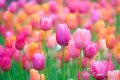Pink and Orange Tulips