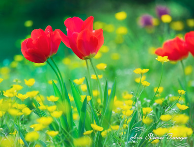 Tulips and Buttercups