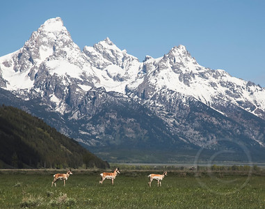Pronghorns in the Valley