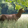 Elk under a tree in the Smokies