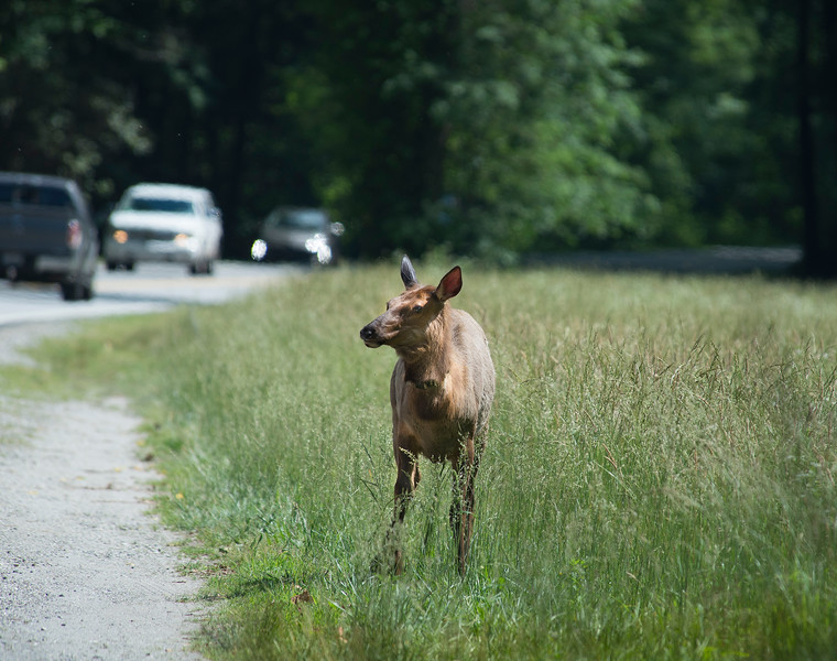 Juvenile elk at the edge of the road in the Smokies