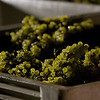 """Freshly harvested Chardonnay glows at a night harvesting. <br>Photo by <a href=""""http://www.tinacciphoto.com"""" target=""""_blank"""">Jason Tinacci</a> / Napa Valley Vintners"""