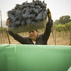 """The first batch of Cabernet goes into the bin. <br>Photo by <a href=""""http://www.tinacciphoto.com"""" target=""""_blank"""">Jason Tinacci</a> / Napa Valley Vintners"""