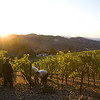 """Dawn greets an early-morning picking crew. <br>Photo by <a href=""""http://www.tinacciphoto.com"""" target=""""_blank"""">Jason Tinacci</a> / Napa Valley Vintners"""