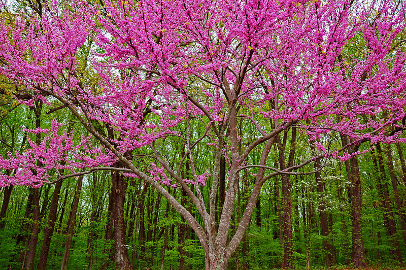 Redbud in bloom - Zionsville, PA - 2009