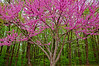 Redbud in bloom - Zionsville, PA - 2009