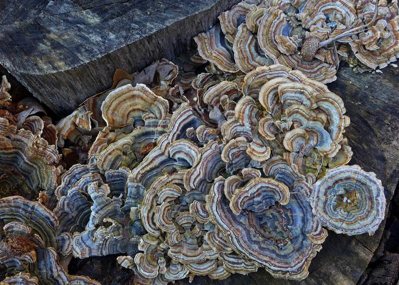 Trametes versicolor is a common saprophyte on hardwood logs - Bethlehem, PA - 2012