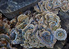 Trametes versicolor is a common saprophyte on hardwood logs - Bethlehem, PA - 2012