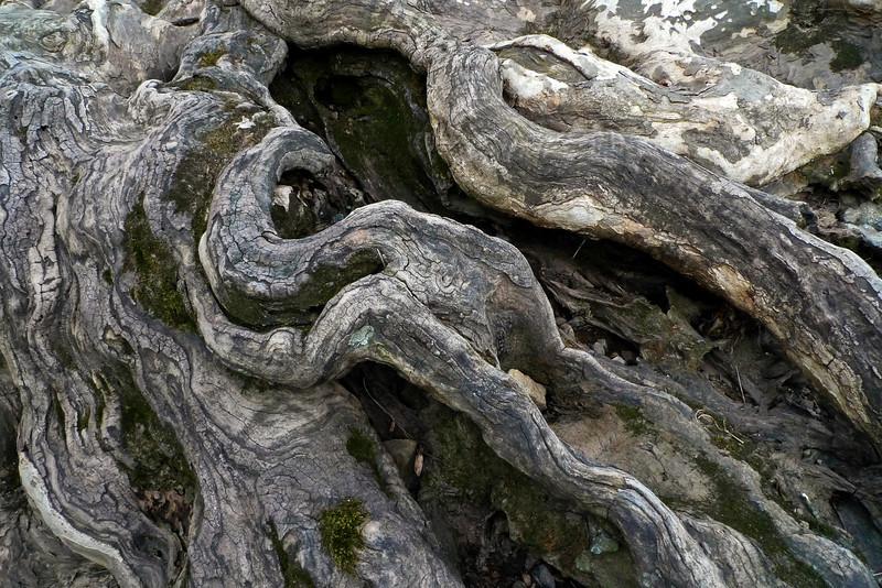 Tree roots - Bucks County, PA - 2012