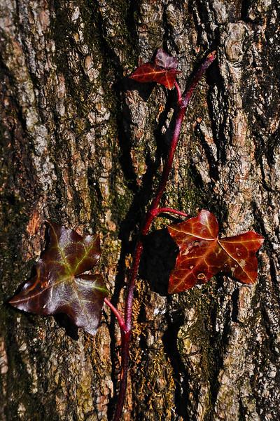 Ivy on tree trunk - Alburtis - 2012