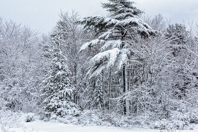 USA, Maine, Acadia National Park.  Snow-covered trees after a blizzard.